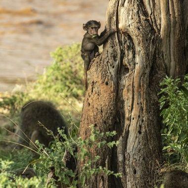 Tree Climbing Monkey