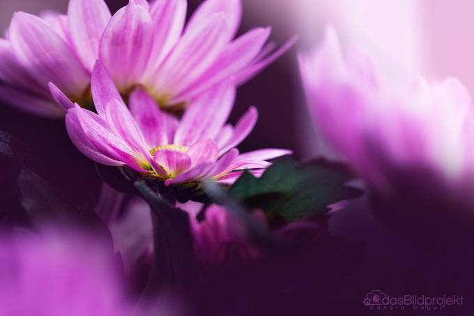 Chrysanthemum by dasBildprojekt - Image Of The Month Photo Contest Vol 35