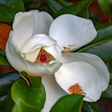 Magnolia Flower, Darnestown, MD, DSC_1584-2