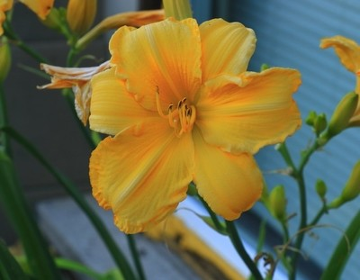 Orange and Yellow Lily_0598