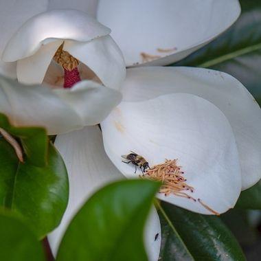 Magnolia, Bee, Darnestown, MD,DSC_1588-2
