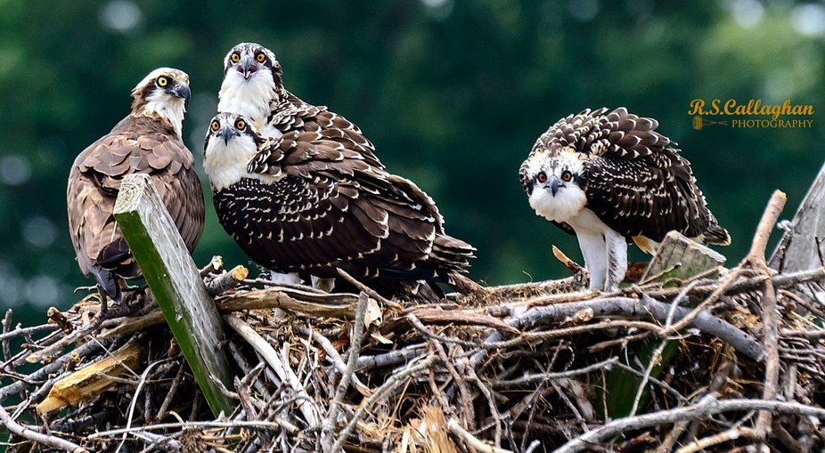 The chicks, identifiable by their orange eyes, have not fledged yet, despite being almost as large as their parent. Their nest is on a channel marker in the Potomac River between Maryland and Virginia.