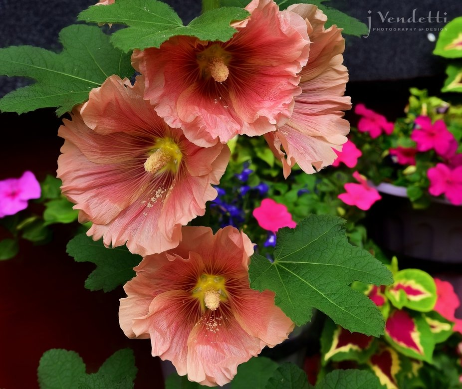I saw my hollyhocks bloomed overnight by my little red shed. I love their ruffled ends. July 16, ...