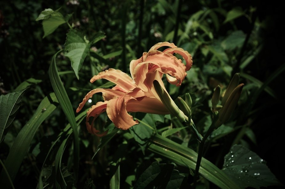This is a Triple Daylily. I was experimenting with exposures and such. While I am sure this is no...