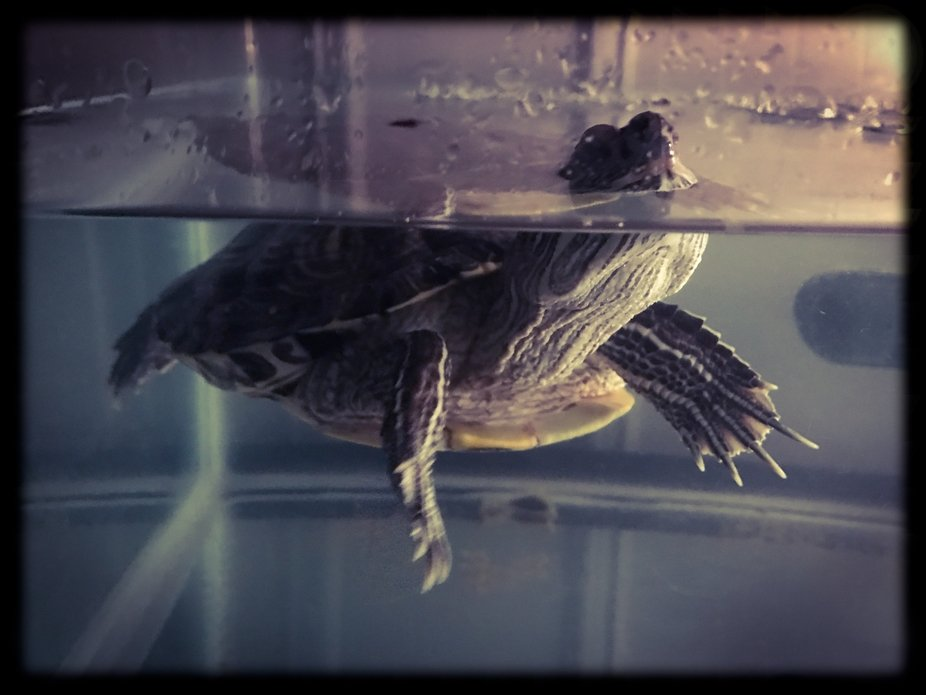My recently deceased turtle poking out of the water posing.