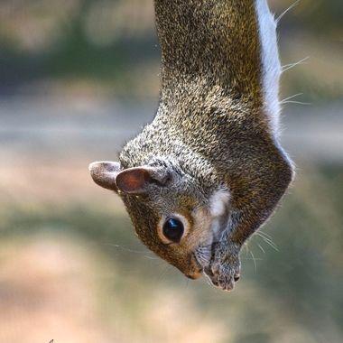 Hanging Squirrel