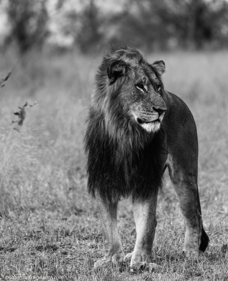 Lion by donvawter - Our World In Black And White Photo Contest