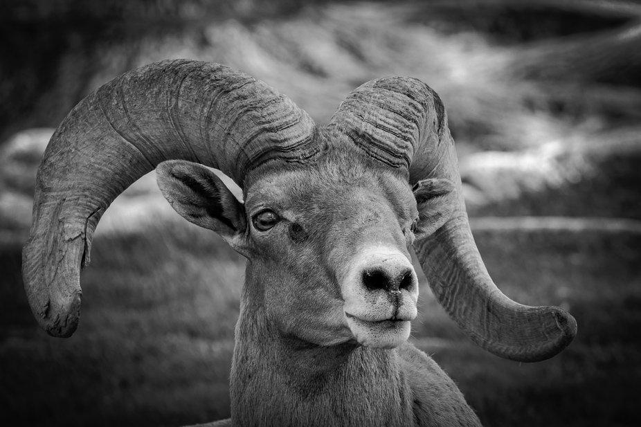 A desert bighorn sheep laying down.