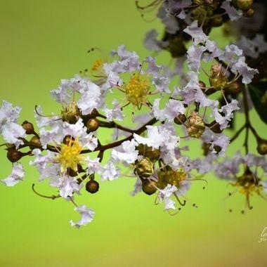 White Crepe Blossom