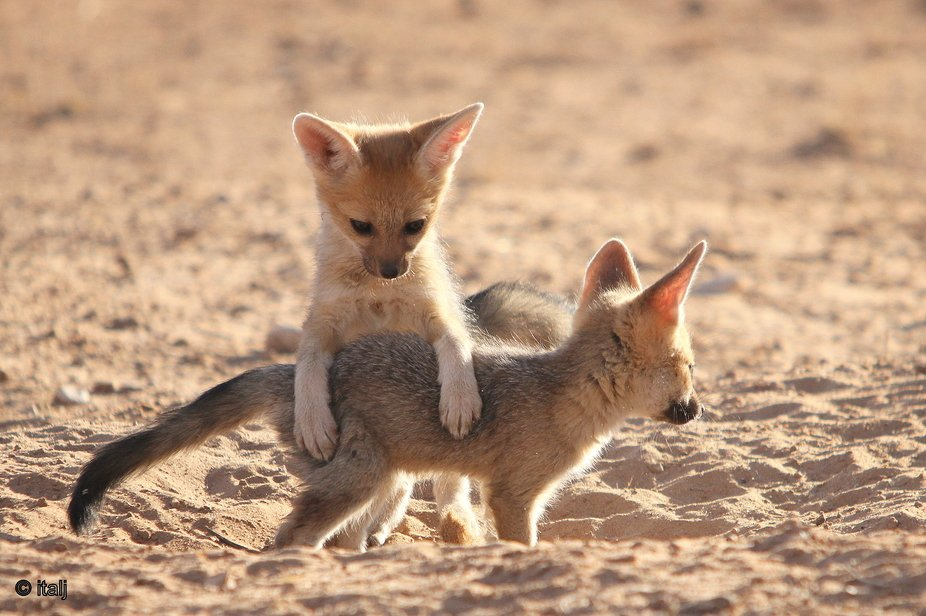 These Cape Fox cubs had a game of leapfrog.