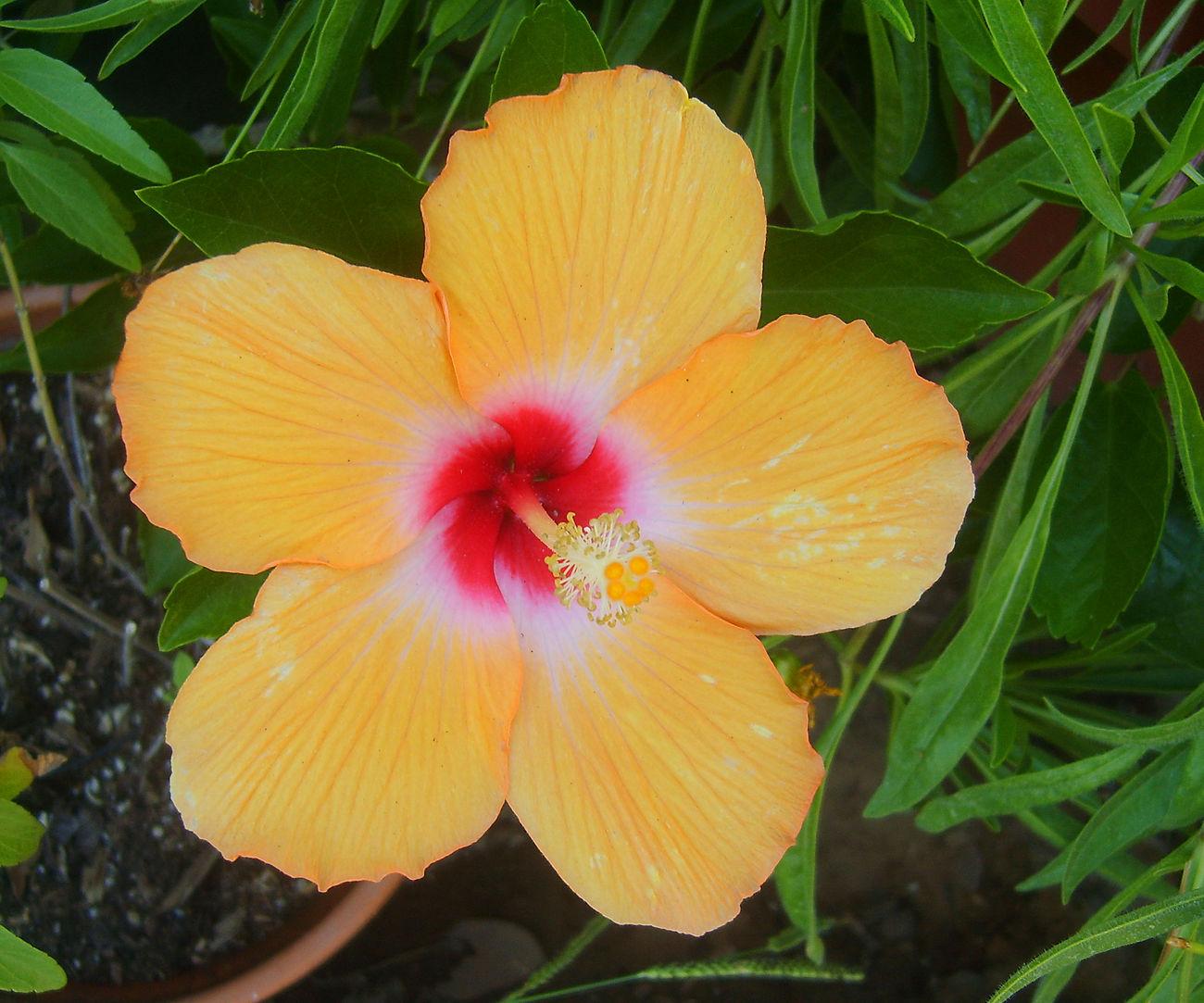 Hibiscus amarillo, macro