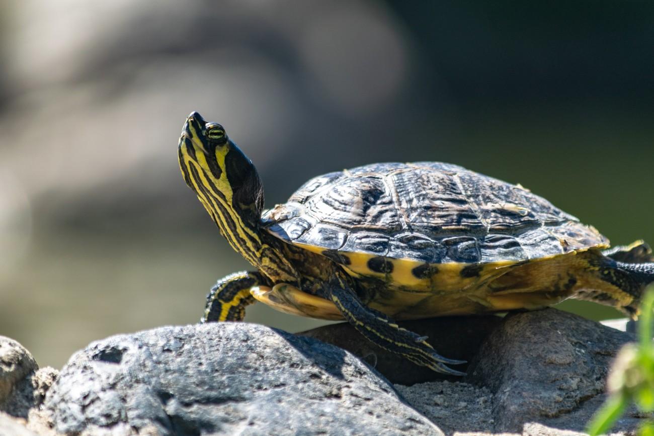 a turtle taking a break in the sun in a rock