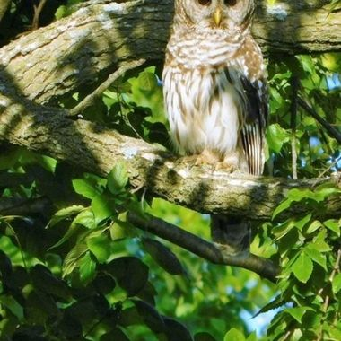 Barred Owl at sunset copy