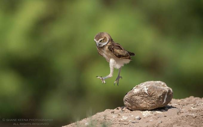 Little owlet, big leap by smkeena - Small Wildlife Photo Contest