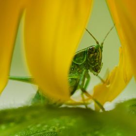 I spent about an hour taking photos of this katydid. He never did fly away, seemingly having taken up permanent residence in the sole sunflower i...