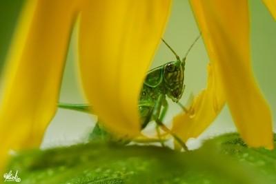 Peek-a-boo Katydid