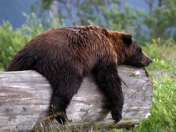 Lounging on a log. by carol_bock_2299 - Alaska The Wild Photo Contest