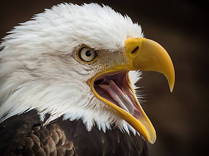 Alder Eagle  by dawnvandoorn - Monthly Pro Photo Contest Vol 44