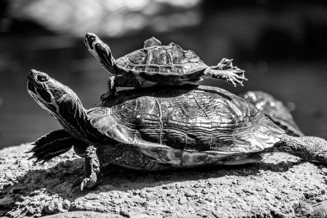 a pair of turtles taking a break in the sun in Marbella, Spain