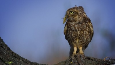 A little Owl´s Snack