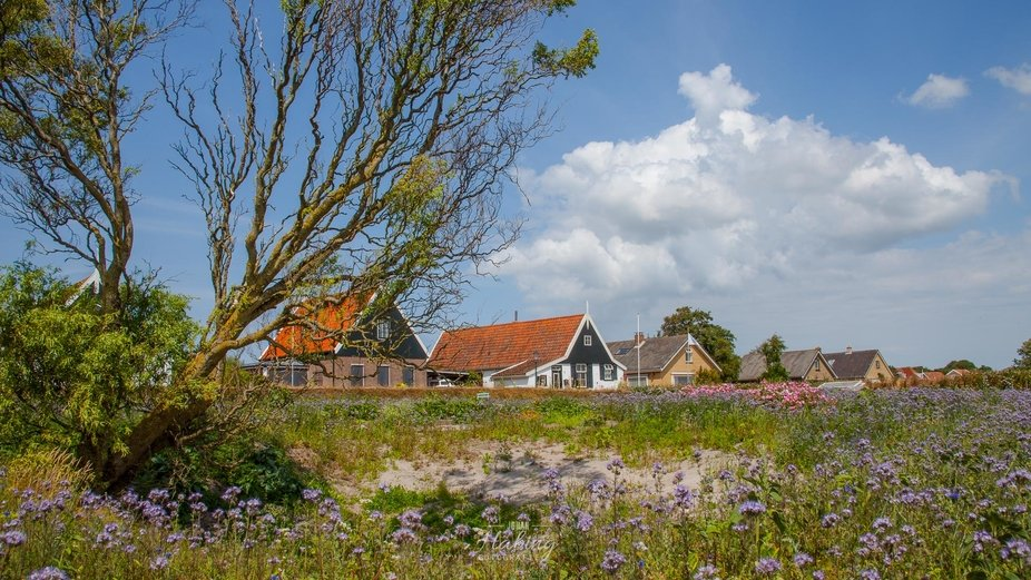 Wild flowers in front of typical Dutch houses on the Island Texel.