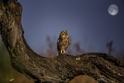 Little Owl and the MooN