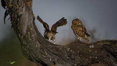 Fly away little Owl