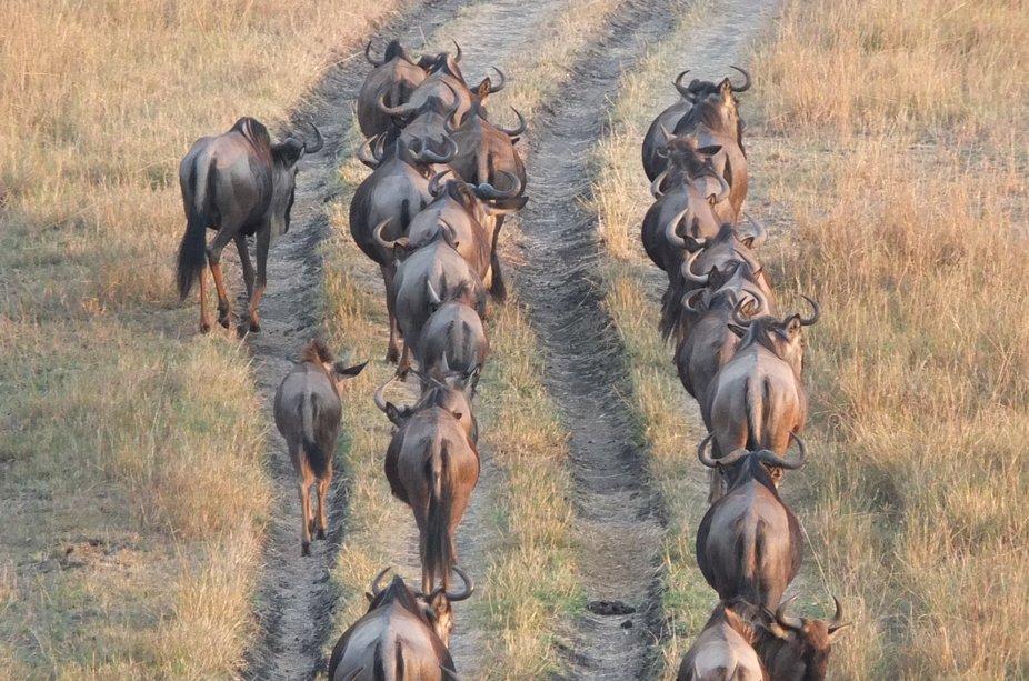 Wildebeeste stampede Maasai Mara - Kenya