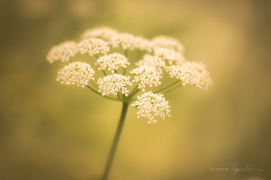 This is Queen Ann's Lace that I took in my garden right after it rained. I love when the...
