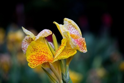 Canna Indica Flower