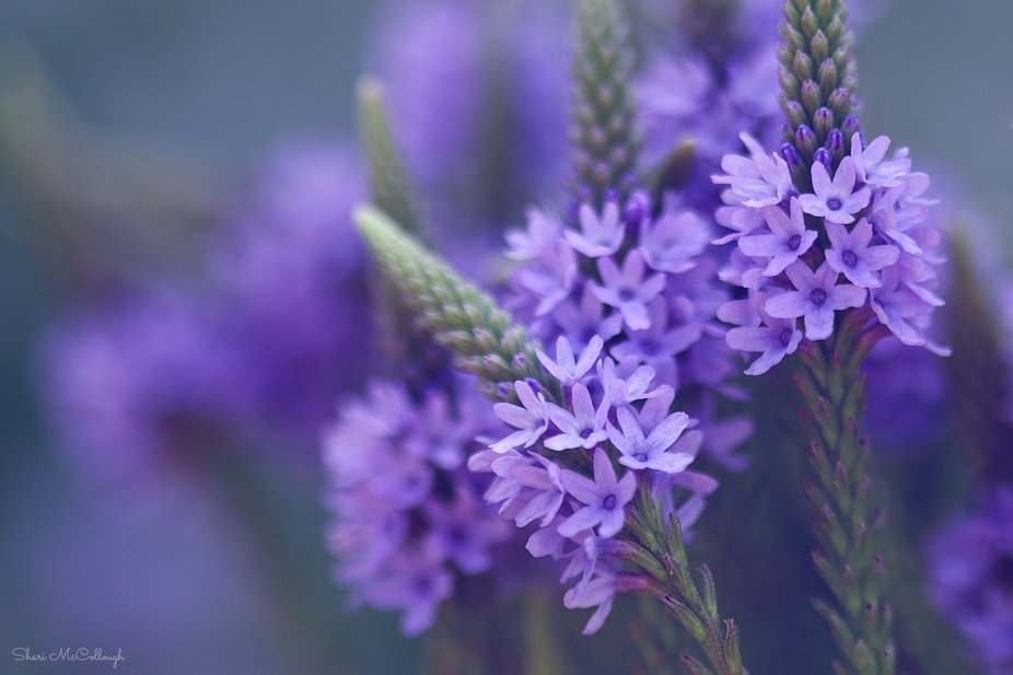 Blue Vervain, a beautiful native wildflower here in Indiana.