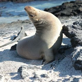 Galapagos Seal enjoying a scratch on a large piece of lava on Isabella Isle, Galapagos Islands, Ecuador.