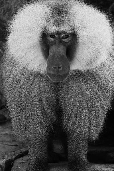 Baboon at the Zoologischer Garten Berlin