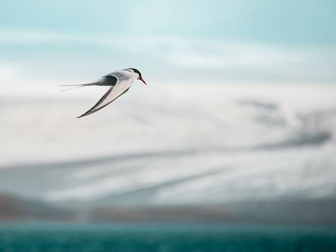 Arctic tern by maperick - Small Wildlife Photo Contest