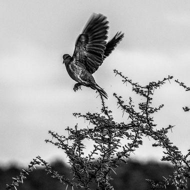 Dove Take Off