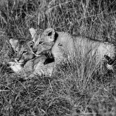 Black and White Lion Cubs
