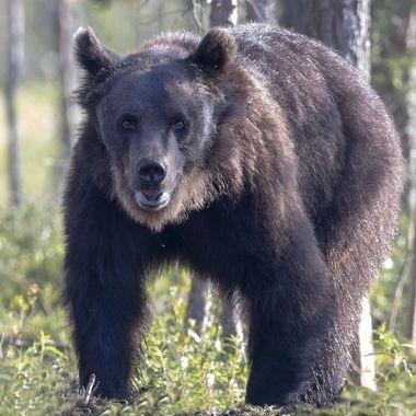 Wild_Bear