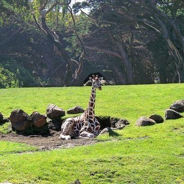Caluroso dia de verano, girafa descansando