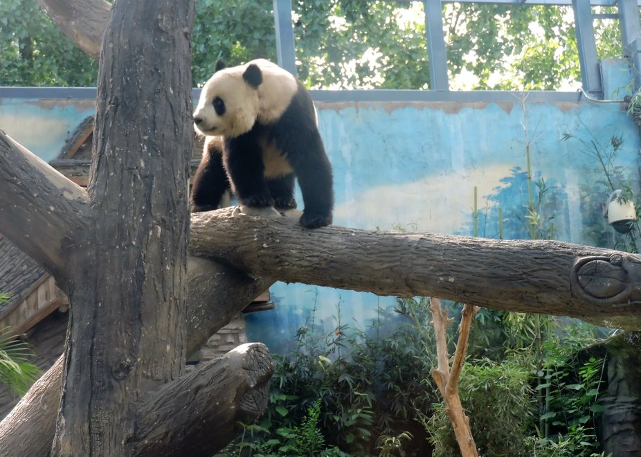 Panda en cautividad, Pekin, China
