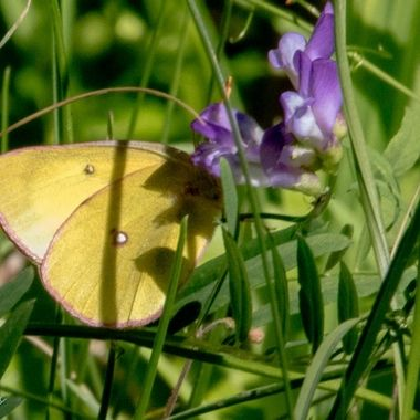 0P6A8764  Butterfly
