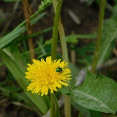 Long-beard Hawkweed Flower with Dogbane Beetle