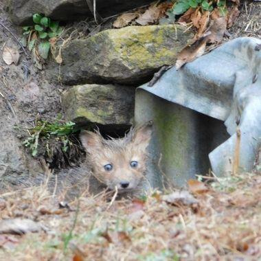 Wet Baby Fox
