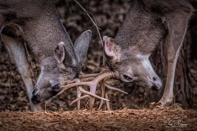 Dueling Deer Take Two . . .