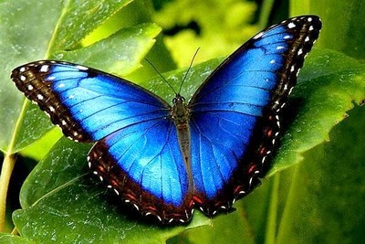 Beautiful blue morpho....!
