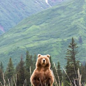 A large Grizzly rears up on its hind legs to have a look around.