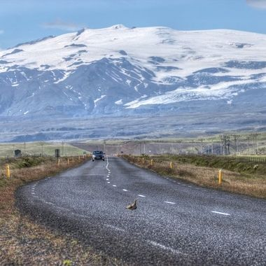 A bird runningnin a road to take off in a road in the south of Iceland.