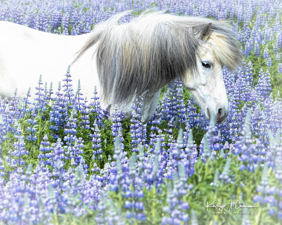 Icelandic horse enjoying lupin meadow.  Image captured with Nikon D850 and 70/200 lens.