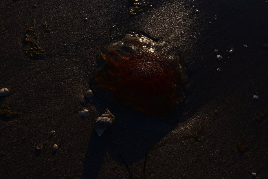 cyanea capillata or 'Lions' Mane Jellyfish'...at the end of its life. Even lying alm...
