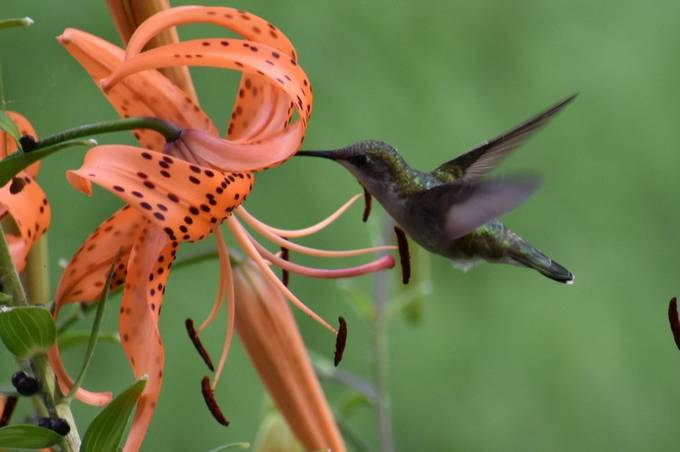 Caught this hummer checking out the tiger lilies. Nikon D3400 70-300 lens sport mode
