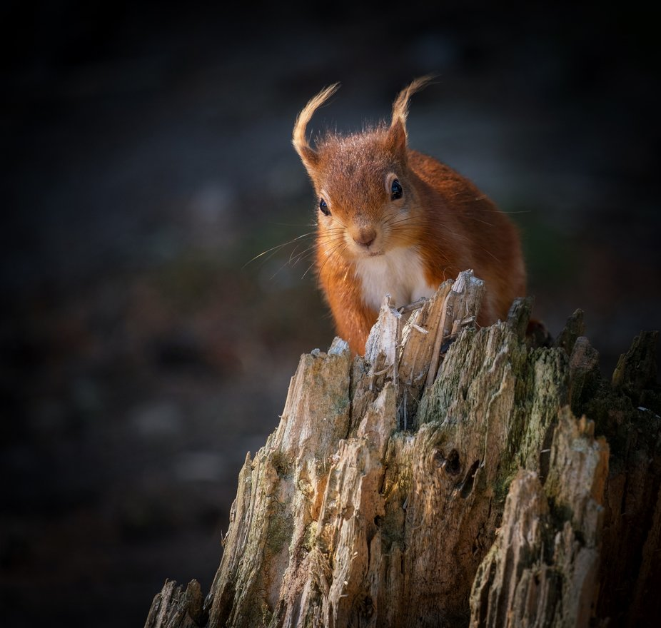 Almost given up finding one of these beautiful little animals in my local woods , when this littl...